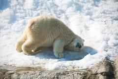 Polar bear. Nice photo of cute white polar bear royalty free stock photos