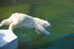 Polar bear. Nice photo of cute white polar bear stock photo