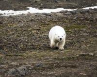 Polar bear on Northbrook island (Franz Josef Land. ). Overwhelming curiosity: cub approaches never seen people before, curious child, bugabear, animal behaviour stock photos