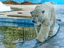 A polar bear, a northern bear, a umka Lat. Ursus maritimus, the world`s largest land predator. Closeup royalty free stock photography