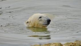 A polar bear, a northern bear, a umka Lat. Ursus maritimus, the world`s largest land predator. Polar bear in water. Closeup stock images