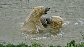 A polar bear, a northern bear, a umka Lat. Ursus maritimus, the world`s largest land predator. Polar bears in water. Closeup. A polar bear, a northern bear, a stock photography
