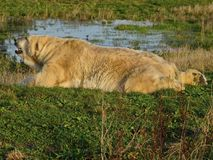 Polar bear, a northern bear, a umka, the world`s largest land predator. Spring in the tundra. A polar bear, a northern bear, a umka Lat. Ursus maritimus, the stock photography