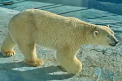 A polar bear, a northern bear, a umka Lat. Ursus maritimus, the world`s largest land predator. stock photos