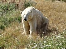 A polar bear, a northern bear, a umka Lat. Ursus maritimus, the world`s largest land predator. Spring in the tundra. Closeup royalty free stock image