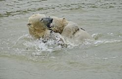A polar bear, a northern bear, a umka Lat. Ursus maritimus, the world`s largest land predator. Polar bear in water. royalty free stock images