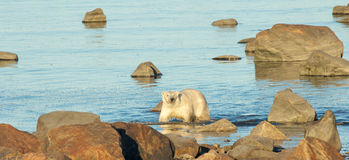 Polar Bear in the Ocean 1. Canadian Polar Bear wading through the cold waters of the Hudson Bay near Churchill, Manitoba, in summer royalty free stock photo
