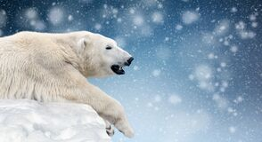Free Polar Bear On A Melting Ice Floe In The Arctic Sea Stock Images - 206480804