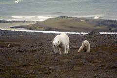 Polar Bear On The Franz Josef Land. Royalty Free Stock Photos