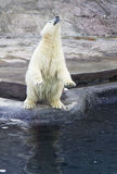 The polar bear. Royalty Free Stock Photography