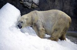 White polar bear is a predator mammal, the Arctic the Arctic is a symbol of wool membrane. Polar bear one of the largest predators on planet earth with powerful royalty free stock photography