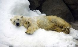White polar bear is a predator mammal, the Arctic the Arctic is a symbol of wool membrane