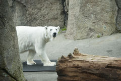 Polar bear in Oregon zoo Stock Photos