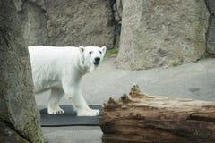 Polar bear in Oregon zoo. Polar bear walking in Oregon zoo Stock Photos
