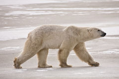 Polar Bear Out For A Winter Stroll Royalty Free Stock Photo
