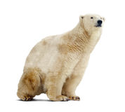 Polar bear over white Royalty Free Stock Images