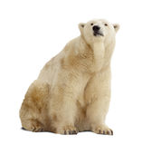 Polar bear.  over white Royalty Free Stock Photos