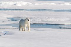 Polar bear on the pack ice royalty free stock photos