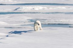 Polar bear on the pack ice stock images