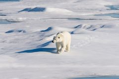 Polar bear on the pack ice. Polar bear Ursus maritimus on the pack ice north of Spitsbergen Island, Svalbard, Norway, Scandinavia, Europe royalty free stock images