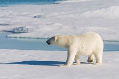 Polar bear on the pack ice stock photography