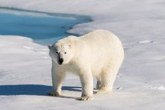 Polar bear on the pack ice. Polar bear Ursus maritimus on the pack ice north of Spitsbergen Island, Svalbard, Norway, Scandinavia, Europe stock photography