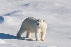 Polar bear on the pack ice stock photo