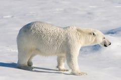 Polar bear on the pack ice stock photos