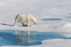 Polar bear on the pack ice north of Spitsbergen Island. Wild polar bear Ursus maritimus going on the pack ice north of Spitsbergen Island, Svalbard stock image