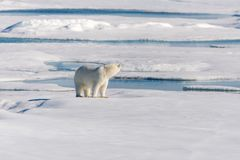 Polar bear on the pack ice north of Spitsbergen Island. Wild polar bear Ursus maritimus going on the pack ice north of Spitsbergen Island, Svalbard stock image