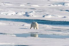 Polar bear on the pack ice north of Spitsbergen Island. Wild polar bear Ursus maritimus going on the pack ice north of Spitsbergen Island, Svalbard stock photography