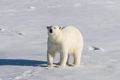 Polar bear on the pack ice north of Spitsbergen Island. Wild polar bear Ursus maritimus going on the pack ice north of Spitsbergen Island, Svalbard royalty free stock images