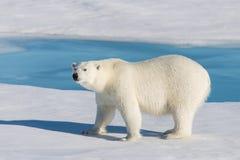 Polar bear on the pack ice north of Spitsbergen Island. Wild polar bear Ursus maritimus going on the pack ice north of Spitsbergen Island, Svalbard royalty free stock photography