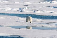 Polar bear on the pack ice north of Spitsbergen Island. Wild polar bear Ursus maritimus going on the pack ice north of Spitsbergen Island, Svalbard royalty free stock images