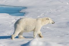 Polar bear on the pack ice north of Spitsbergen Island. Wild polar bear Ursus maritimus going on the pack ice north of Spitsbergen Island, Svalbard royalty free stock image