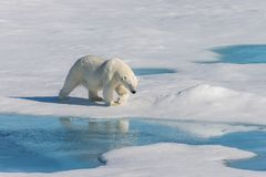 Polar bear on the pack ice north of Spitsbergen Island. Wild polar bear Ursus maritimus going on the pack ice north of Spitsbergen Island, Svalbard royalty free stock photography