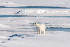 Polar bear. On the pack ice north of Spitsbergen stock photography