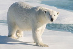 Polar bear. On the pack ice north of Spitsbergen stock images