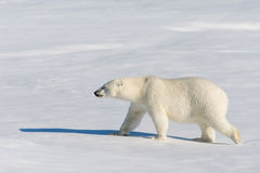 Polar bear. On the pack ice north of Spitsbergen royalty free stock photos