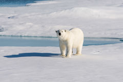 Polar bear. On the pack ice north of Spitsbergen royalty free stock photography