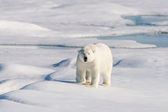 Polar bear. On the pack ice north of Spitsbergen royalty free stock photo