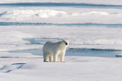 Polar bear. On the pack ice north of Spitsbergen royalty free stock image