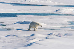 Polar bear. On the pack ice north of Spitsbergen stock photo
