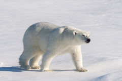 Polar bear. On the pack ice north of Spitsbergen stock image