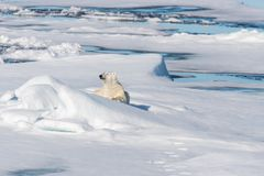 Polar bear on the pack ice north of Spitsbergen Island. Wild polar bear Ursus maritimus going on the pack ice north of Spitsbergen Island, Svalbard stock photo