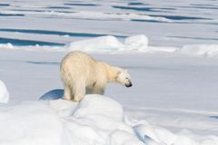 Polar bear on the pack ice north of Spitsbergen Island. Wild polar bear Ursus maritimus going on the pack ice north of Spitsbergen Island, Svalbard stock photos