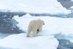 Polar bear on the pack ice north of Spitsbergen Island. Wild polar bear Ursus maritimus going on the pack ice north of Spitsbergen Island, Svalbard stock photos