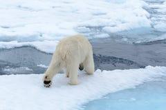 Polar bear on the pack ice north of Spitsbergen Island. Wild polar bear Ursus maritimus going on the pack ice north of Spitsbergen Island, Svalbard royalty free stock image