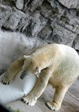 Polar Bear Pawing Container Stock Photo