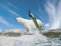 Polar bear and peacock. Peacock sits on a polar bear, symbolizing species migration caused by climate change Stock Photos